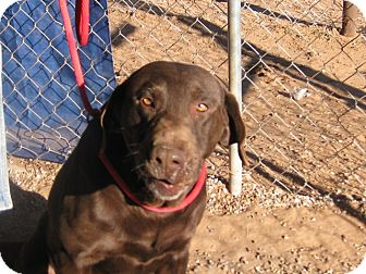 Labrador Retriever Mix Dog for adoption in Post, Texas - Sam