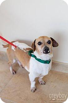 Dachshund/Beagle Mix Dog for adoption in Mission Viejo, California - Murray