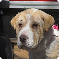 Adopt A Pet :: Chunky Monkey - Brattleboro, VT