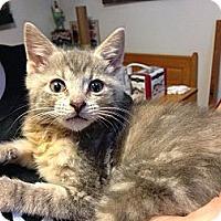 Adopt A Pet :: Tiger Lily - Mays Landing, NJ