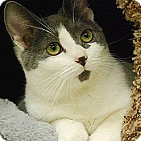 American Shorthair Cat for adoption in Morgan Hill, California - Dottie