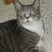 Domestic Shorthair Cat for adoption in Naples, Florida - Shadow