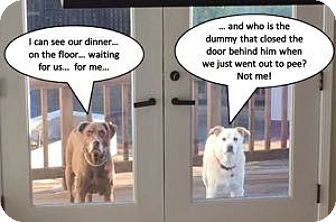 Labrador Retriever/German Shepherd Dog Mix Dog for adoption in San Francisco, California - Raider