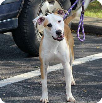 Boxer/Feist Mix Dog for adoption in Liberty Center, Ohio - Jacks