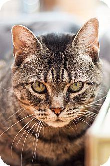 Domestic Shorthair Cat for adoption in Brimfield, Massachusetts - Winter