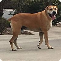 Adopt A Pet :: Bugsy - Dalton, GA