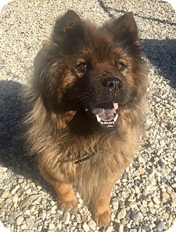Chow Chow Mix Dog for adoption in Sacramento, California - Nicky!