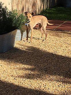 Italian Greyhound/Chihuahua Mix Dog for adoption in Fountain Valley, California - Spero