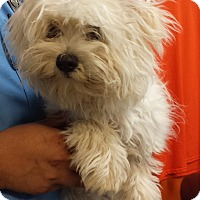 Maltese Mix Dog for adoption in Westminster, California - Wasabi