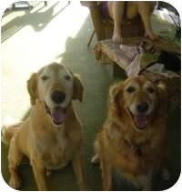 Golden Retriever Mix Dog for adoption in Scottsdale, Arizona - Tucker & Missy