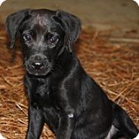 Adopt A Pet :: Callie - Madison, WI