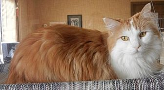 Domestic Longhair Cat for adoption in Des Moines, Iowa - Zoey