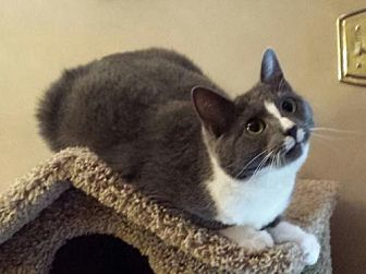 Domestic Longhair Cat for adoption in Knoxville, Tennessee - Antionette
