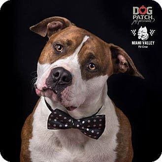 Pit Bull Terrier/American Pit Bull Terrier Mix Dog for adoption in Dayton, Ohio - Apache