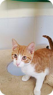 Domestic Shorthair Kitten for adoption in Danville, Indiana - Mozart