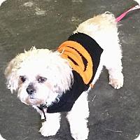 Adopt A Pet :: Isabella(2) - Homer Glen, IL