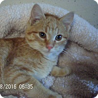 Adopt A Pet :: Nacho-adoption pending! - Bridgeton, MO