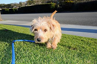 Terrier (Unknown Type, Small)/Corgi Mix Dog for adoption in Agoura Hills, California - Muffin