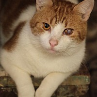 Domestic Shorthair Cat for adoption in Bronx, New York - McNulty