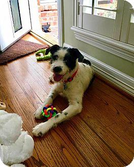 Miniature Schnauzer/Border Collie Mix Dog for adoption in Houston, Texas - Starbuck