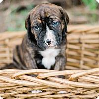 Adopt A Pet :: Kennedy $250 - Seneca, SC