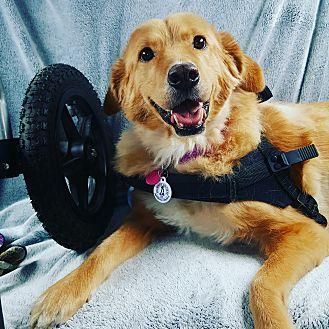 Chow Chow/Golden Retriever Mix Dog for adoption in El Centro, California - Roxanne