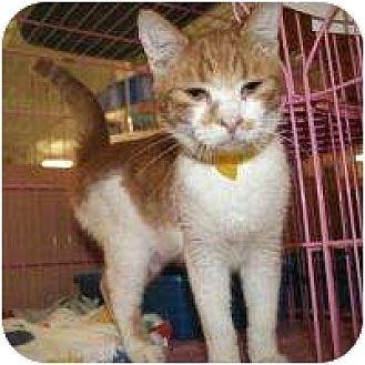 Domestic Shorthair Cat for adoption in Tucson, Arizona - Felipe