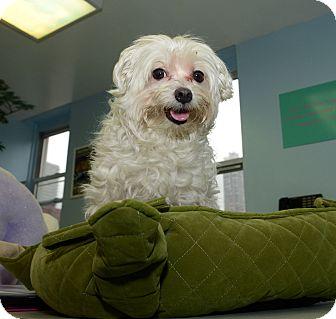 Maltese Dog for adoption in New York, New York - Kingston