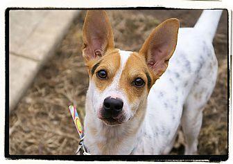 Feist Mix Puppy for adoption in Elmwood Park, New Jersey - Queenie