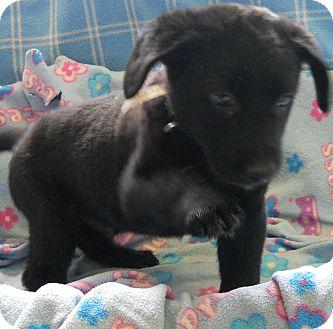 Labrador Retriever/German Shepherd Dog Mix Puppy for adoption in River Falls, Wisconsin - Heart