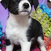 Adopt A Pet :: Willow - Wytheville, VA