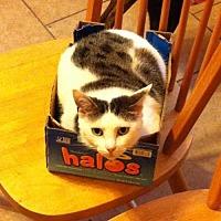 Domestic Mediumhair Cat for adoption in St. Cloud, Florida - Mariah