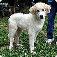 Adopt A Pet :: Avalanche - Indian Trail, NC