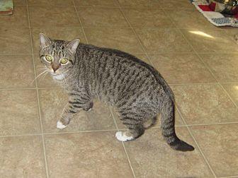Domestic Mediumhair Cat for adoption in Toledo, Ohio - Addie