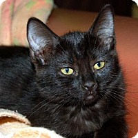 Domestic Shorthair Kitten for adoption in Lake City, Michigan - Kitten ID# 1835