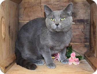 Domestic Shorthair Cat for adoption in Herndon, Virginia - Grace (and Hope)