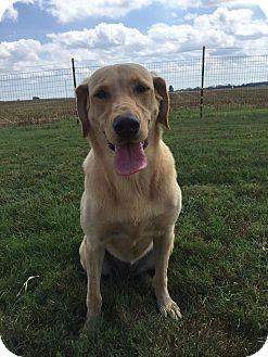 Labrador Retriever Dog for adoption in Russellville, Kentucky - Nelly