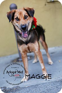 Shepherd (Unknown Type) Mix Dog for adoption in Sherman Oaks, California - Maggie