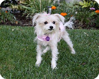Maltese Mix Dog for adoption in Newport Beach, California - LUCILLE