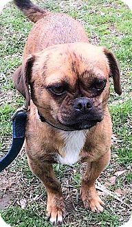 Pug Mix Dog for adoption in Mukwonago, Wisconsin - **TREBLE** MEET APRIL 1ST!