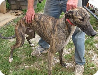 Greyhound Dog for adoption in Knoxville, Tennessee - Wagtail Firefly