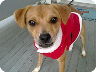 Chihuahua/Terrier (Unknown Type, Small) Mix Puppy for adoption in Cumberland, Maryland - Percy