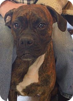 Boxer Dog for adoption in Gary, Indiana - Ginger