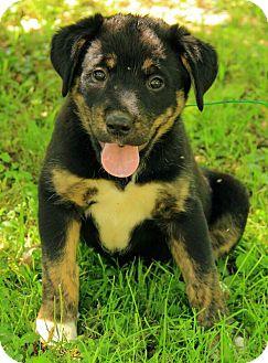 St. Bernard/German Shepherd Dog Mix Puppy for adoption in Brattleboro, Vermont - Ryann