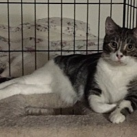 Domestic Shorthair Cat for adoption in Sacramento, California - Fluffy