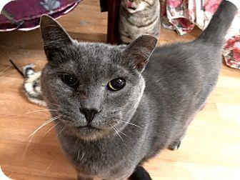 Domestic Shorthair Cat for adoption in Wilmington, Delaware - Ben