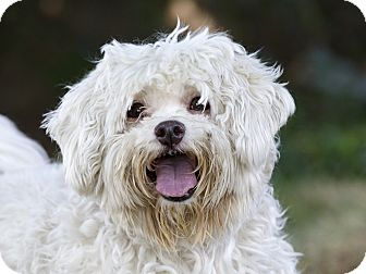 Maltese/Bichon Frise Mix Dog for adoption in Ile-Perrot, Quebec - GUIMAUVE