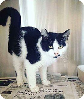 Domestic Mediumhair Kitten for adoption in New Milford, Connecticut - Bristol