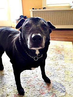 Labrador Retriever Dog for adoption in Spring Lake, New Jersey - Lenny