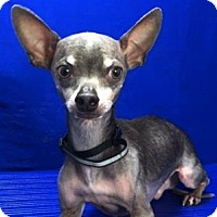Adopt A Pet :: Rango - Show Low, AZ